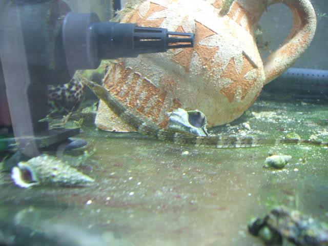 Syngnathus acus DSCF0852