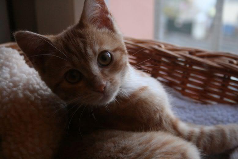 Perle, Chaton femelle, rousse, née le 20 mai 2011 102011_2