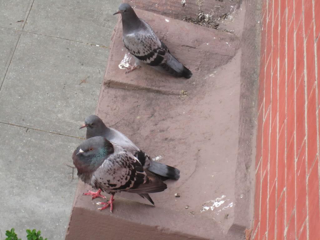 Odd Pigeon Behavior = Sick Pigeon? Pigeion_1