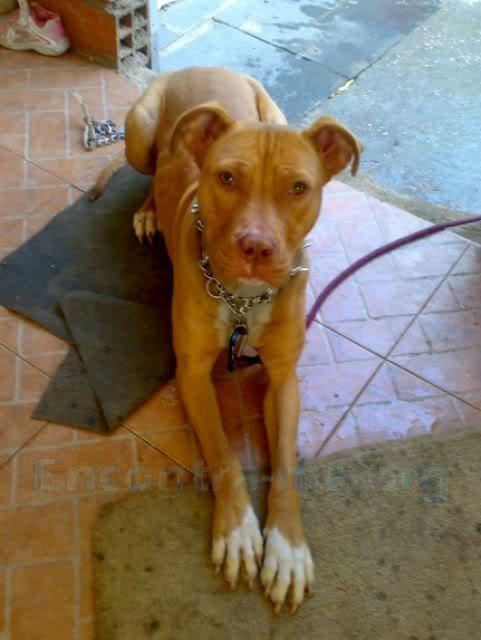 [Perdida] cadela American Pit Bull Terrier jovem, castanha, Paço de Arcos/Oeiras 6999-1-g