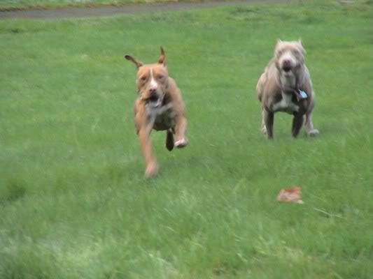 American Pit Bull Terrier (APBT)