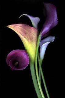 சேனையை அலங்கரிக்கும் பூக்கள் 02 - Page 3 Five-calla-liliesZENGROUP-Copy