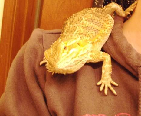 Bearded Dragon 002-Copy