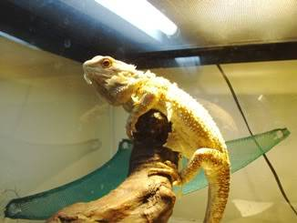 Bearded Dragon 003-Copy