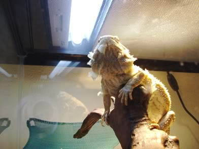 Bearded Dragon 006-Copy