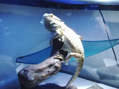 Bearded Dragon 007-Copy