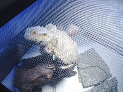 Bearded Dragon 008-Copy-1