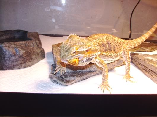 Bearded Dragon 013-Copy