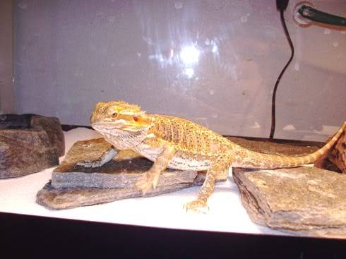 Bearded Dragon 014-Copy