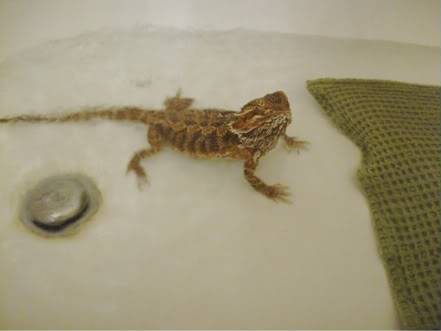 Bearded Dragon 025-Copy