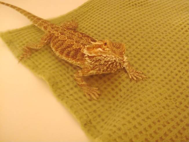 Bearded Dragon 029-Copy