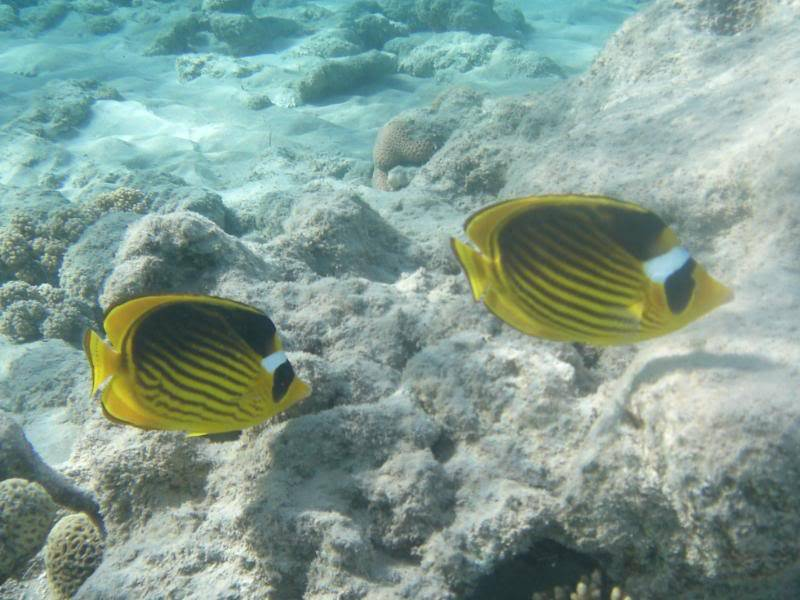 Pics of the wildlife and fish of egypt Picture048