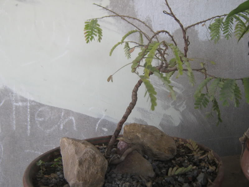 Small Tamarind bonsai in progress. IMG_7242