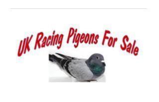 Racing Pigeons, Show & Fancy Pigeons - Portal Mrburgess