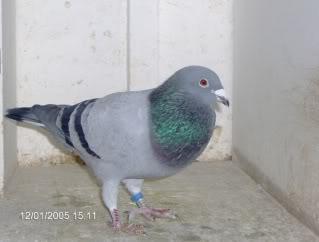 Racing Pigeons, Show & Fancy Pigeons - Portal Rayoldcock