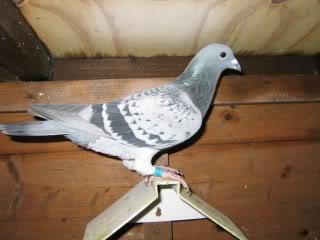 Racing Pigeons, Show & Fancy Pigeons - Portal Steveyc2