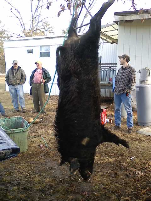 Couple of boars i caught awhile back 0213091521-00
