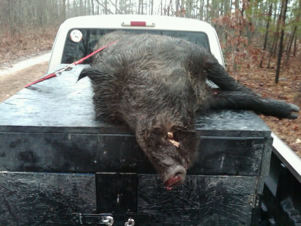 Couple of boars i caught awhile back 201