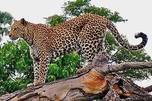 Panthera  300px-Leopard_on_a_horizontal_tree_