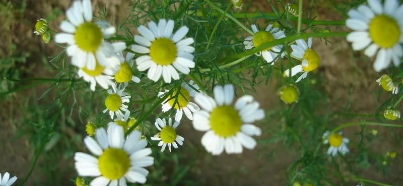 Flora i Fauna Kamilicaslika