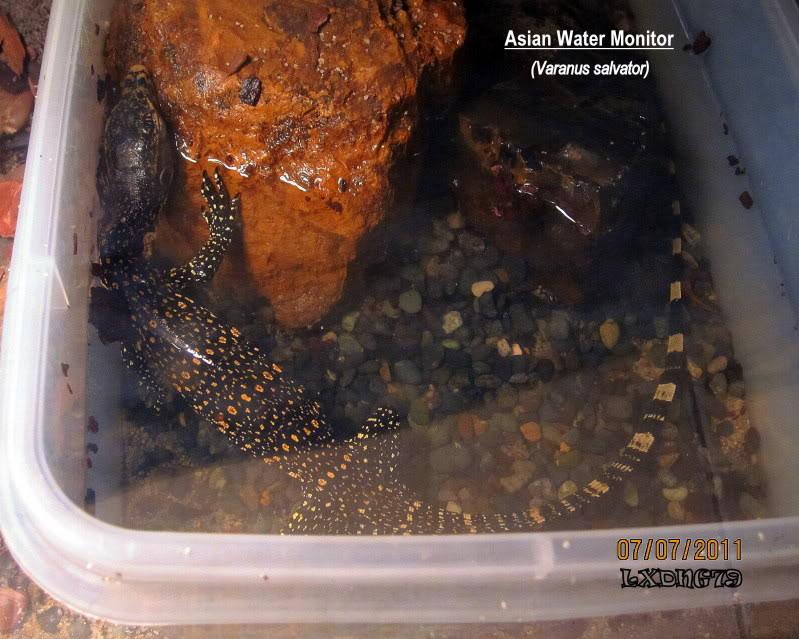 Asian Water Monitor - Varanus salvator AWMslp
