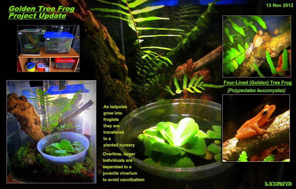 Golden Tree Frog Project (Polypedates leucomystax) NewFrogs1