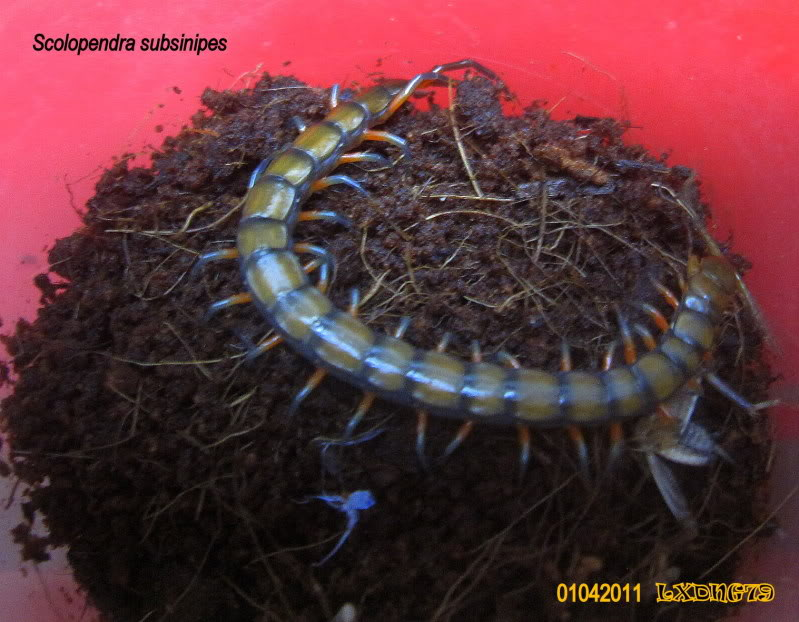 LXDNG's Centipedes ScolobroodA