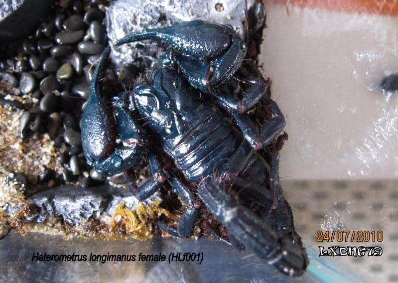 Heterometrus longimanus HlongifWCb