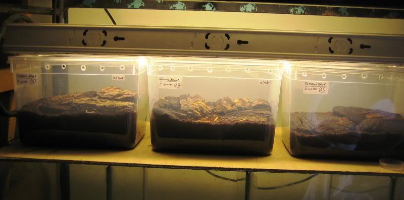 Heterometrus spinifer Rearingtubs