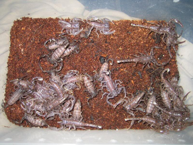 Heterometrus spinifer Scurryingscorplings