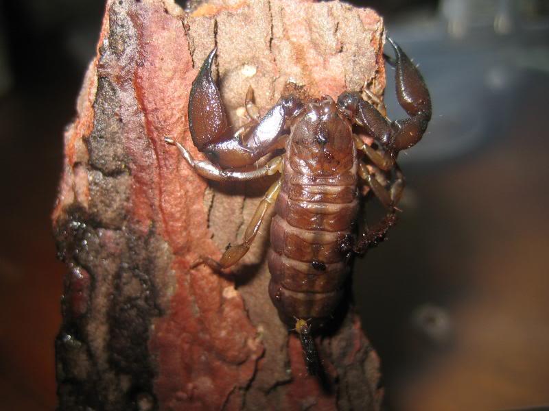 Liocheles australasiae Lioadltcls7