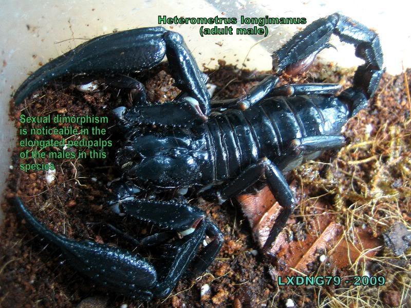 Heterometrus Spinifers: IDs / Sexing  Longimale2
