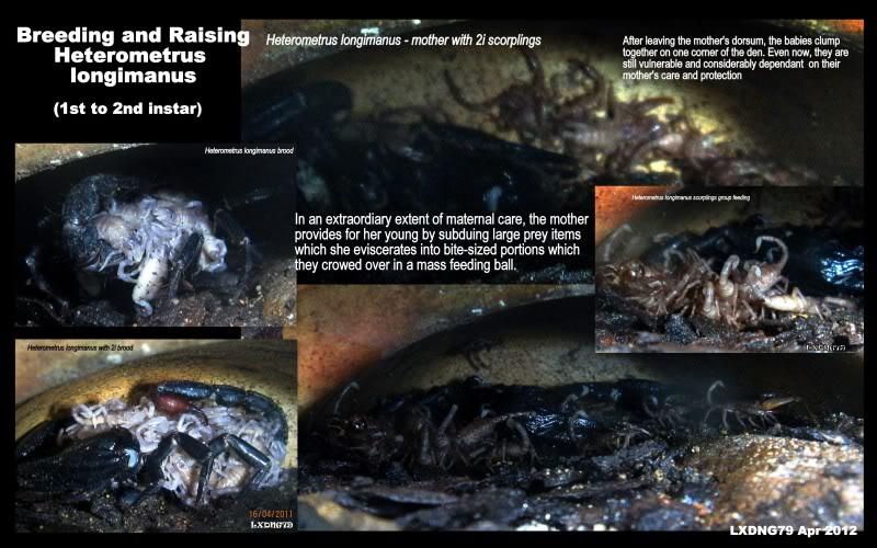 [ASF] Heterometrus longimanus LongimanusBreedingRaising1
