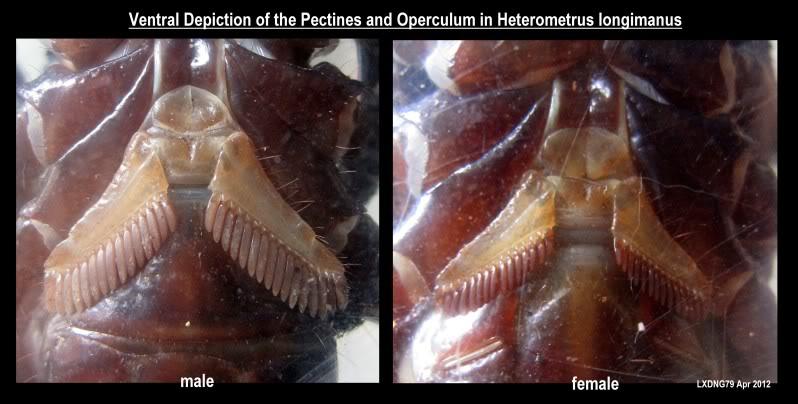[ASF] Heterometrus longimanus Longimanusventral