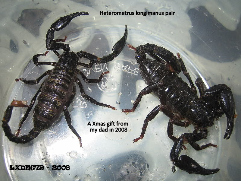 [ASF] Heterometrus longimanus Fromdad-2