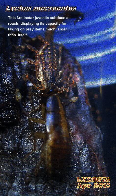 [ASF] Lychas mucronatus Bigcatch