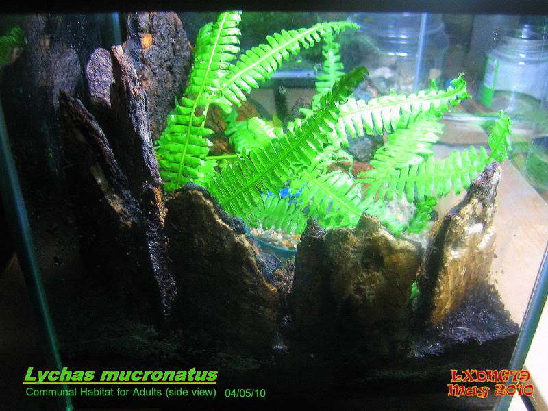 [ASF] Lychas mucronatus Fernishedside