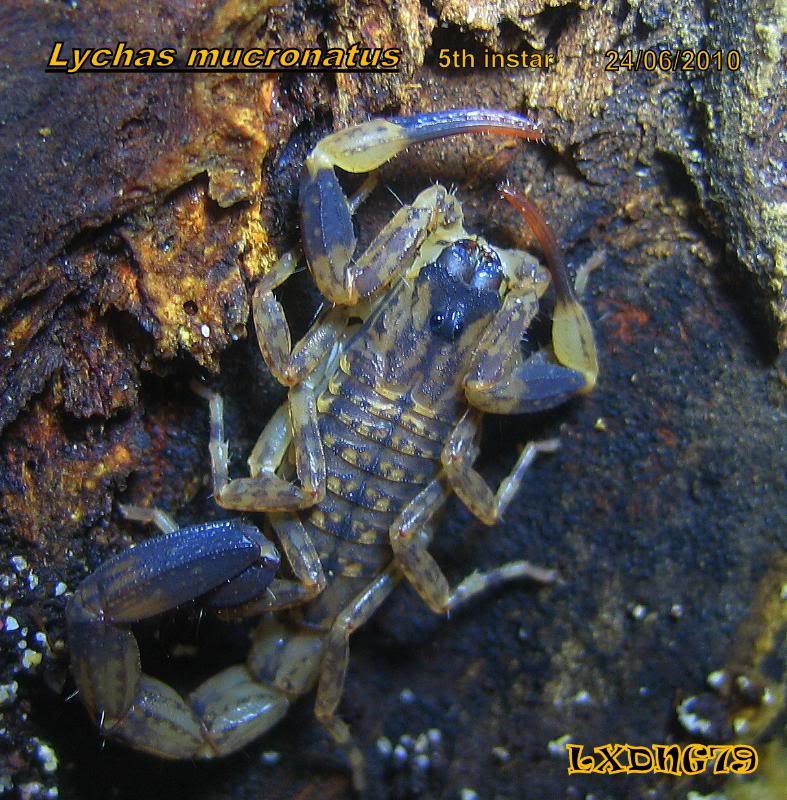 [ASF] Lychas mucronatus Lm5instr