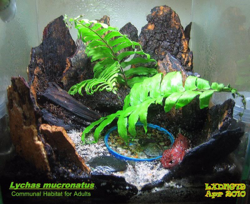 [ASF] Lychas mucronatus LmCommunity260410