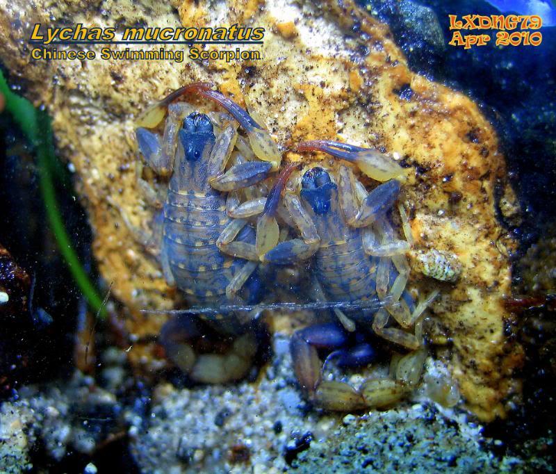 [ASF] Lychas mucronatus LmSOTM01