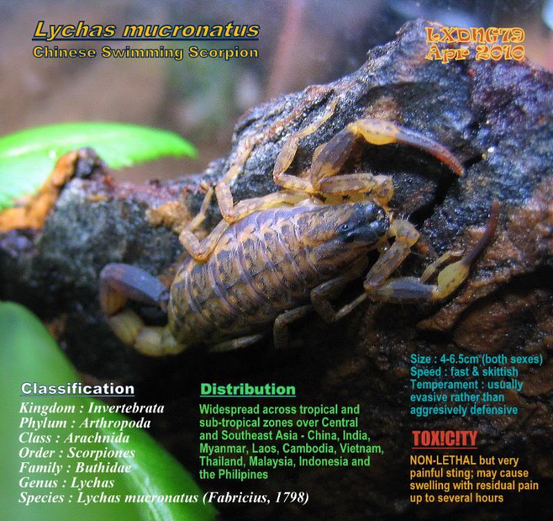 [ASF] Lychas mucronatus LmSOTM02