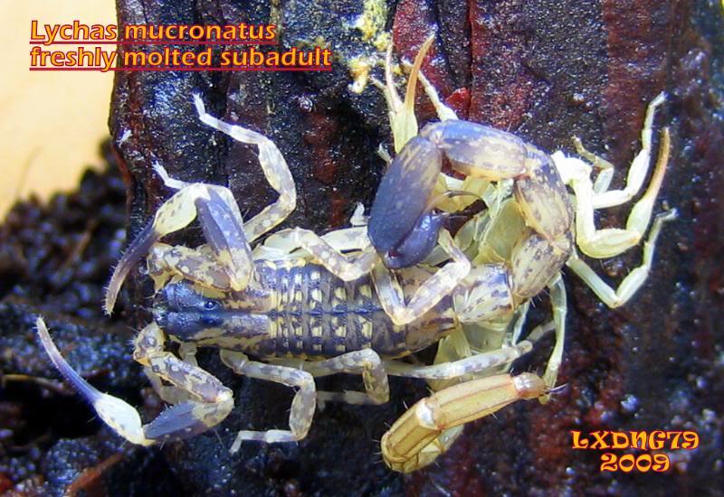 [ASF] Lychas mucronatus LmSOTM06