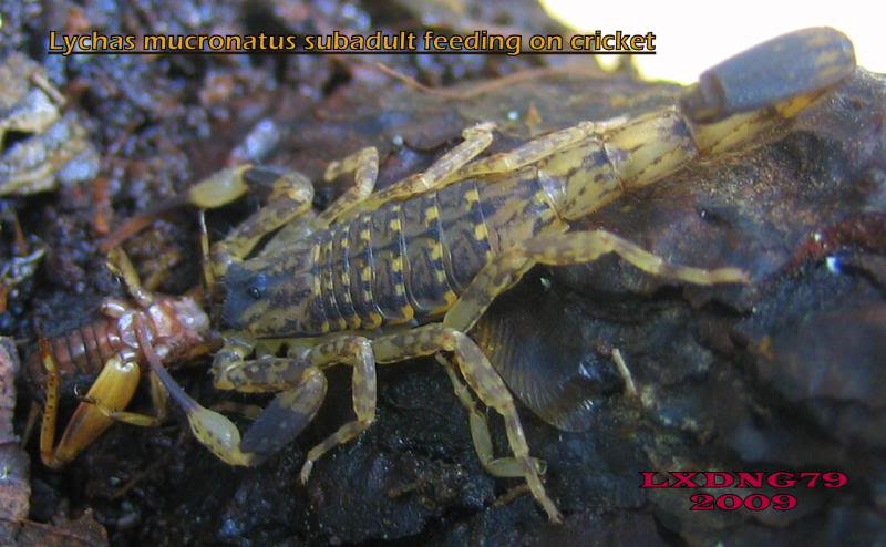 [ASF] Lychas mucronatus LmSOTM08