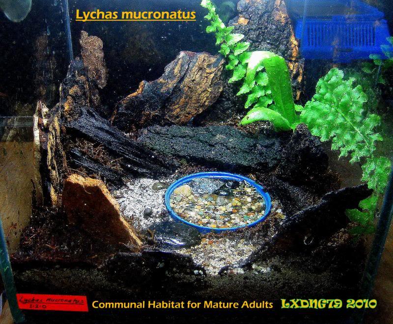 [ASF] Lychas mucronatus LmSOTM11
