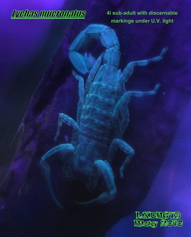 [ASF] Lychas mucronatus LmUV02