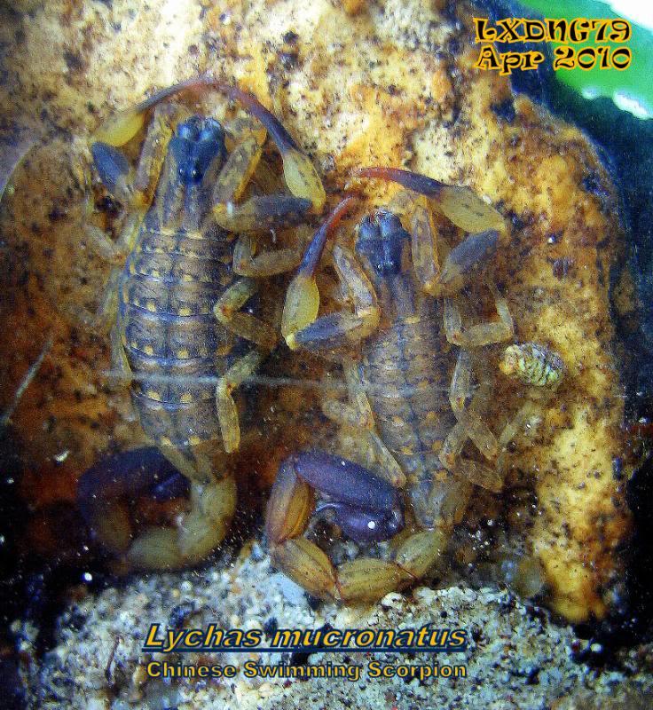 [ASF] Lychas mucronatus Lmcouple
