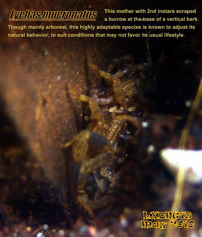 [ASF] Lychas mucronatus Lmmatrnlcr04a