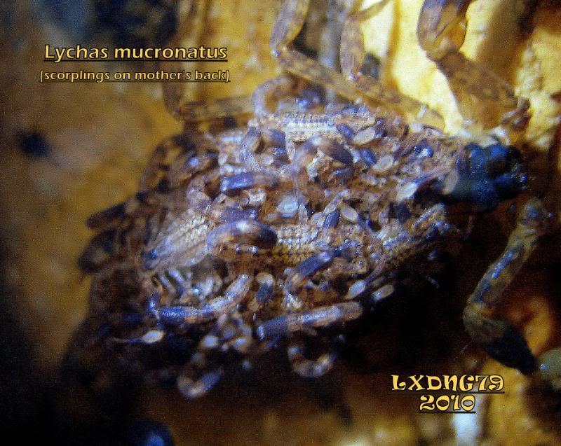 [ASF] Lychas mucronatus Lmucronatuswith2ndinstar