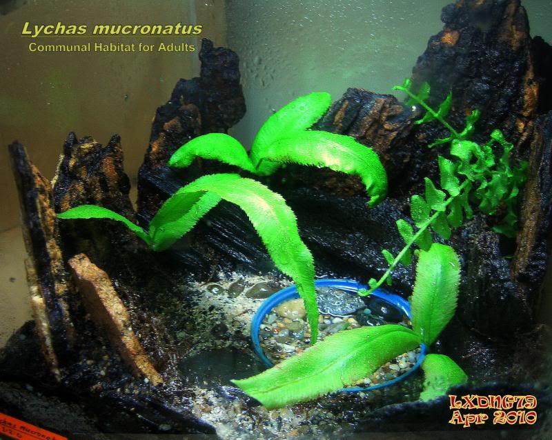 [ASF] Lychas mucronatus Lychasgarden