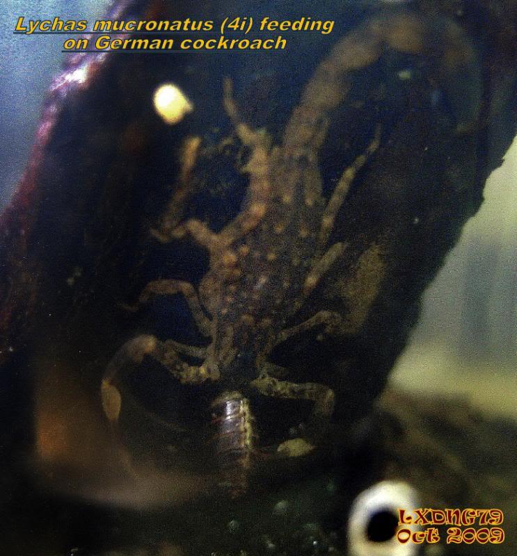 [ASF] Lychas mucronatus Lychasmucronatusmeal-1